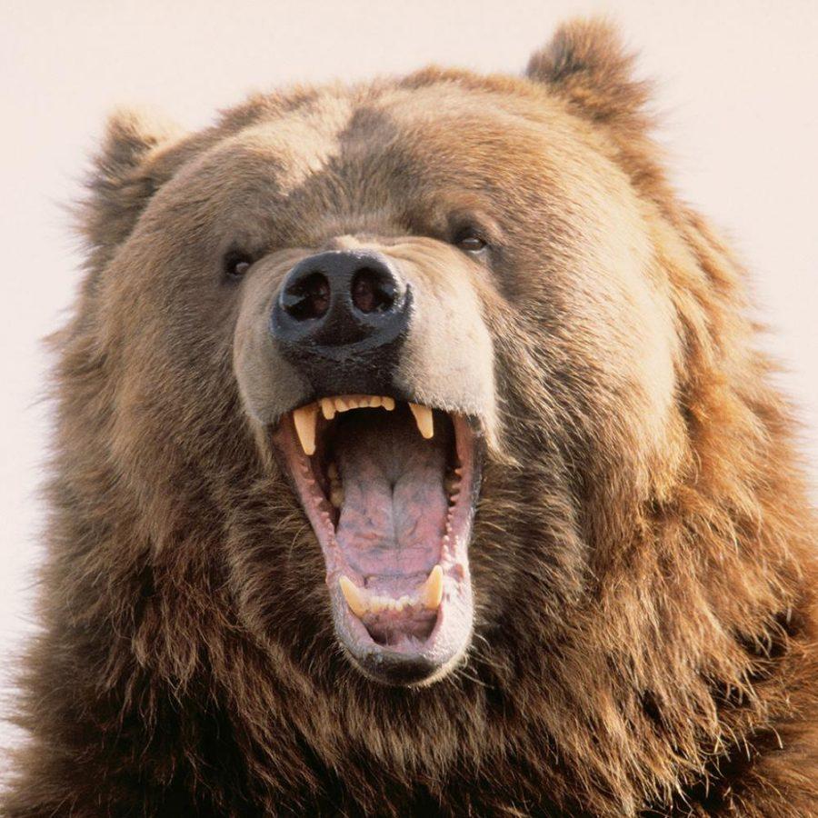 Bear+Facts+For+%E2%80%9CBear+Facts%E2%80%9D